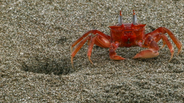 ghost crabs (ocypode sp.) on a beach on the pacific coast of ecuador - loch stock-videos und b-roll-filmmaterial