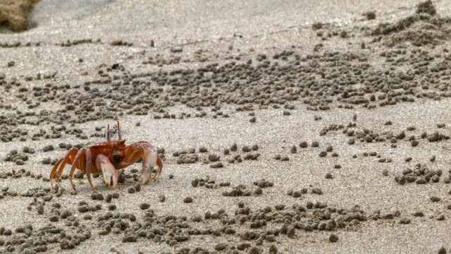Ghost crabs (Ocypode sp.) on a beach on the Pacific coast of Ecuador