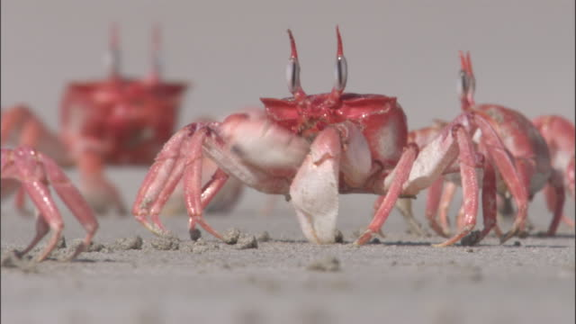 ghost crabs push and shove each other as they feed, isabela, galapagos islands available in hd. - klaue stock-videos und b-roll-filmmaterial