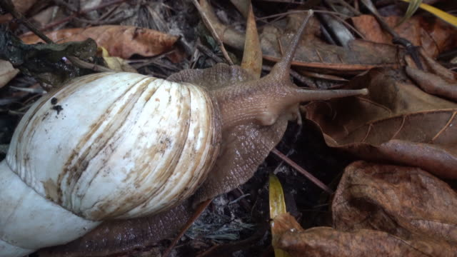 giant african land snail - snail stock videos & royalty-free footage