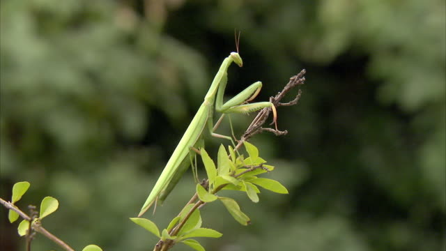 ws giant african mantis (sphodromantis viridis) sitting on twig / johannesburg, gauteng, south africa - twig stock videos and b-roll footage