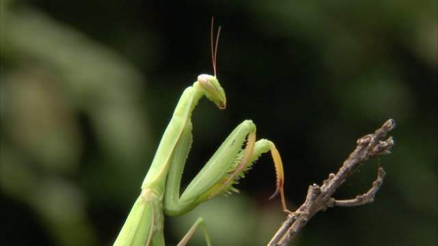 ms zi cu giant african mantis (sphodromantis viridis) sitting on twig / johannesburg, gauteng, south africa - twig stock videos & royalty-free footage
