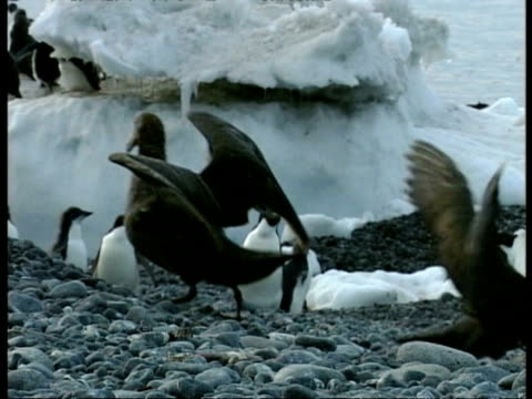 vidéos et rushes de ms giant albatross with wings outstretched running around amongst adelie penguin colony, antarctica - colony