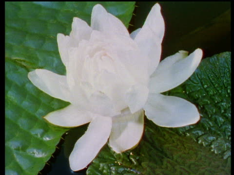 giant amazon water lily flower bud opens. - lily stock videos and b-roll footage