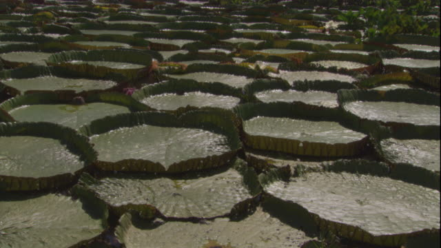 giant amazon waterlilies float on the surface of a river. available in hd. - lily stock videos & royalty-free footage