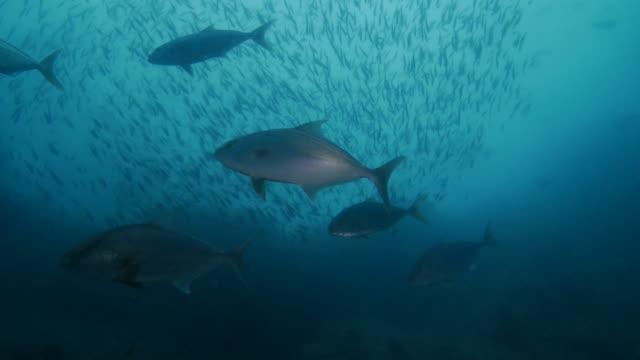 巨大カンパチ魚餌魚を追って - 地形点の映像素材/bロール