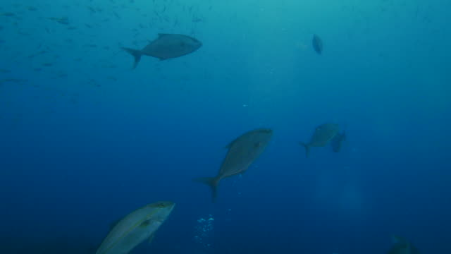 Giant Amberjack fish hunting undersea