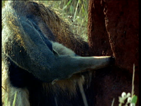 Giant anteater breaks into termite mound and licks out termites, Brazil