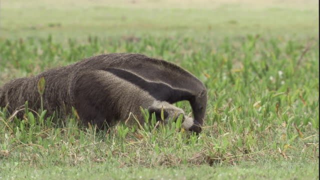 A giant anteater digs and forages in a marshy area. Available in HD.