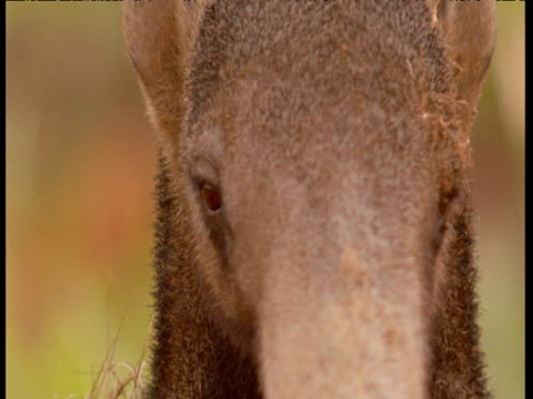Giant anteater face, tilt down to long nose