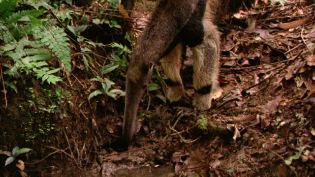 Giant anteater foraging for food on rain forest floor / Tambopata, Peru