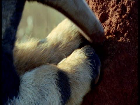 Giant anteater uses claws to break into termite mound, Brazil