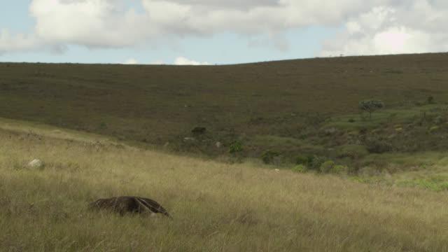 Giant anteater (Myrmecophaga tridactyla) walks across cerrado grassland.