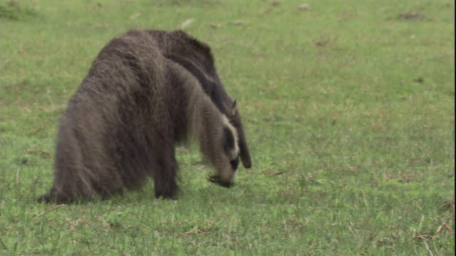 A giant anteater walks across wetlands in Brazil. Available in HD.