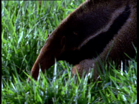 Giant anteater walks and sniffs at termite mound on cerrado grassland,