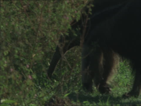 A giant anteater walks into bushes.