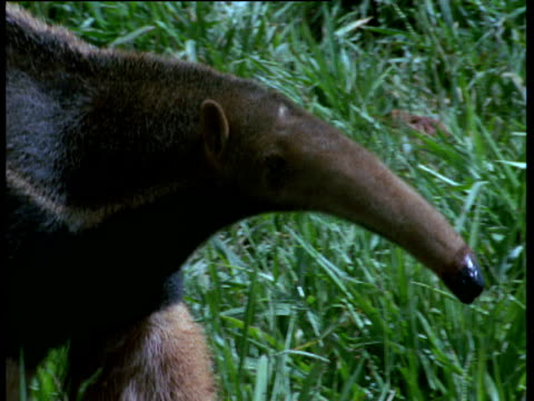 Giant anteater walks on cerrado