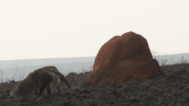 Giant anteater (Myrmecophaga tridactyla) walks over burnt cerrado grassland past termite mound.