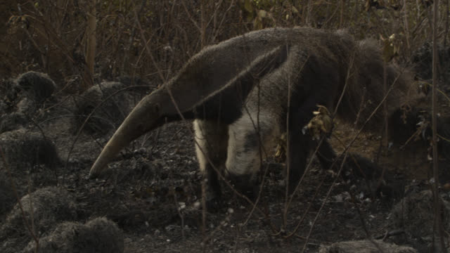 Giant anteater (Myrmecophaga tridactyla) walks over burnt cerrado grassland.
