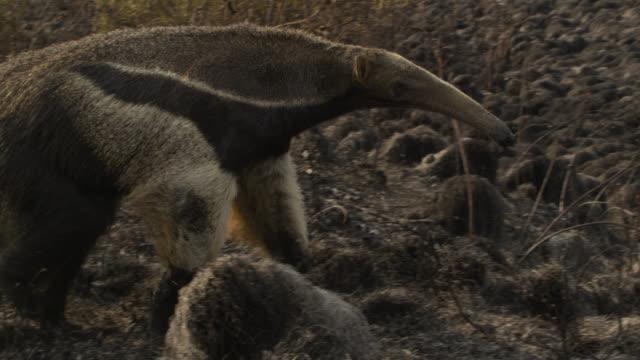 Giant anteater (Myrmecophaga tridactyla) walks over burnt cerrado grassland.