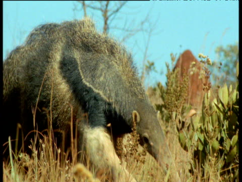 Giant Anteater walks toward camera sniffing air, tilt down to feet, Brazil