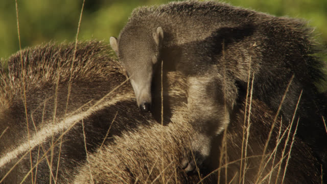 Giant anteater young (Myrmecophaga tridactyla) rides on back of mother.