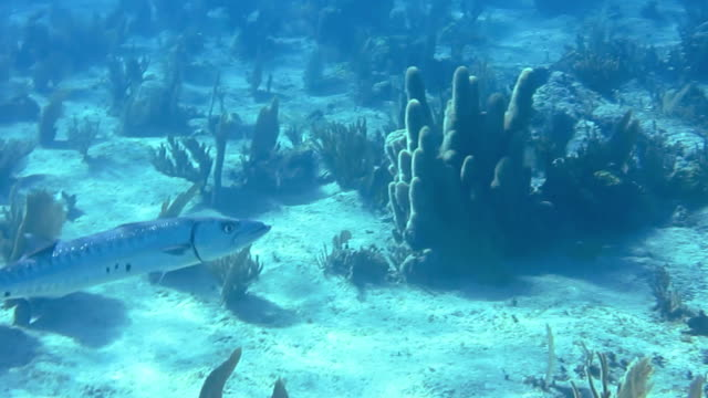 giant barracuda swimming amongst the soft corals in a shallow area of gardens of the queens national park in southern cuba. - barracuda stock videos & royalty-free footage