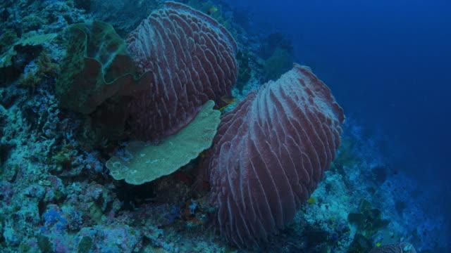 vídeos y material grabado en eventos de stock de esponja barril gigante en mar profundo - esponja