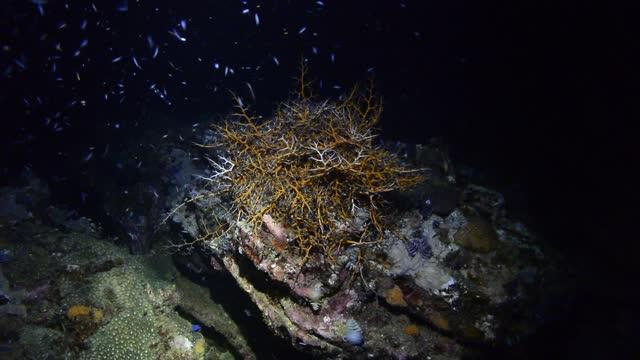 giant basket star at night. - aquatic organism stock videos & royalty-free footage