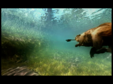 a giant beaver swims underwater. - beaver dam stock videos and b-roll footage