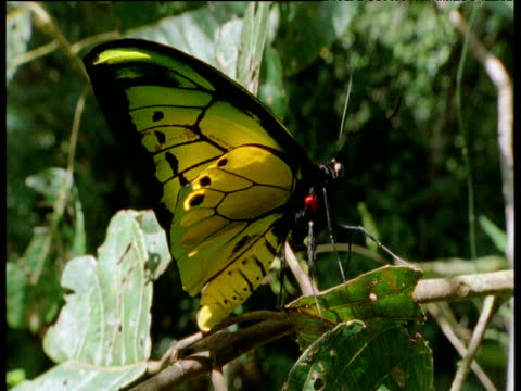 giant birdwing butterfly rests on branch in forest, irian jaya - endangered species stock videos & royalty-free footage