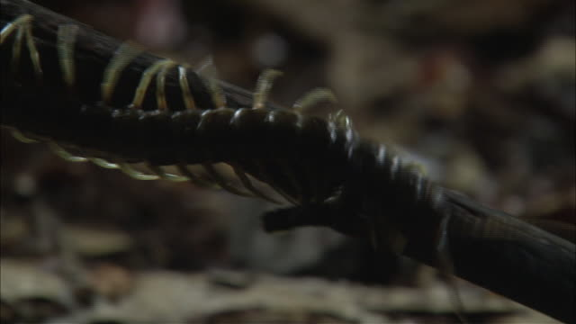 a giant centipede crawls over a twig. - twig stock videos & royalty-free footage