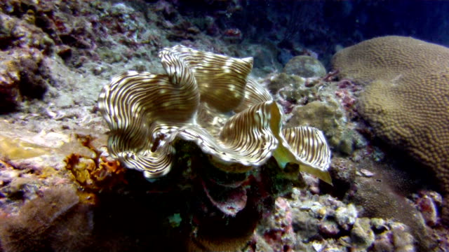 giant clam (tridacna sp) on shallow coral reef. - pearl stock videos and b-roll footage