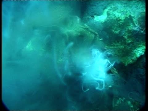 vídeos de stock, filmes e b-roll de ms giant clam secreting white fluid, australia - molusco invertebrado