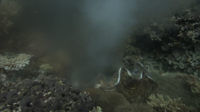 giant clam (tridacna gigas) spawning on coral reef, fiji - coral stock videos & royalty-free footage