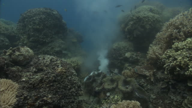 giant clam (tridacna gigas) spawning on coral reef, fiji - sperm stock videos & royalty-free footage