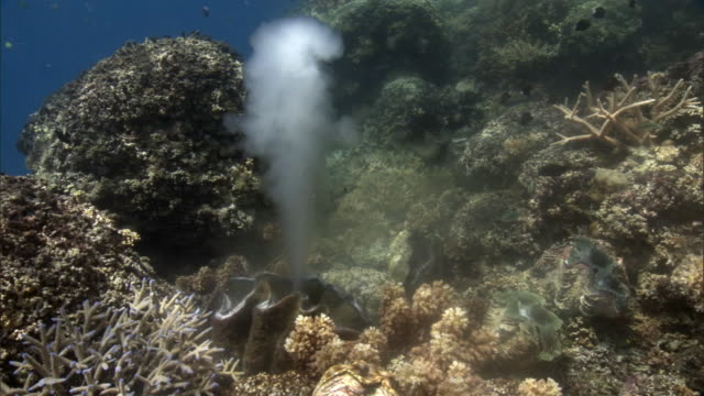 giant clam (tridacna gigas) spawns on coral reef, fiji - seabed stock videos & royalty-free footage