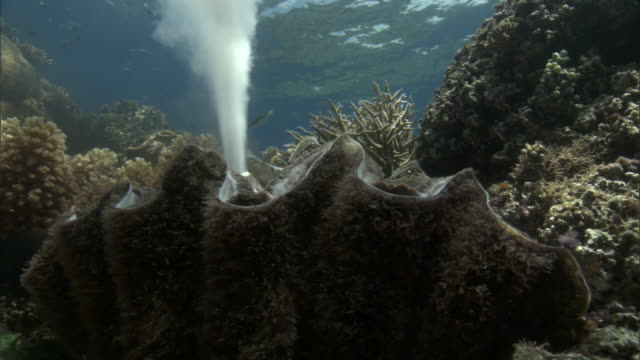 Giant clam (Tridacna gigas) spawns on coral reef, Fiji
