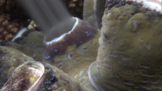 giant clam (tridacna gigas) spawns on coral reef, fiji - coral stock videos & royalty-free footage