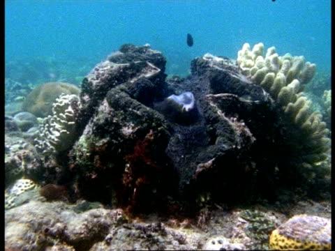 ms giant clam, tridacna maxima, underwater, huge open mollusc, dappled sunlight, australia - mollusc stock videos & royalty-free footage