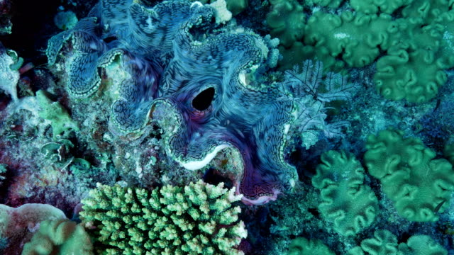 giant clam - reef stock videos & royalty-free footage