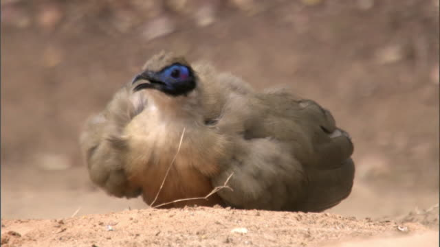 "stockvideo's en b-roll-footage met giant coua (coua gigas) dust bathes, madagascar - ""bbc natural history"""