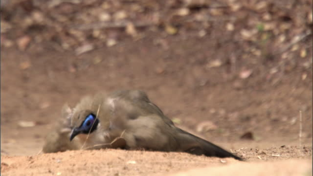 """giant coua (coua gigas) dust bathes, madagascar - """"bbc natural history"""" stock videos & royalty-free footage"""