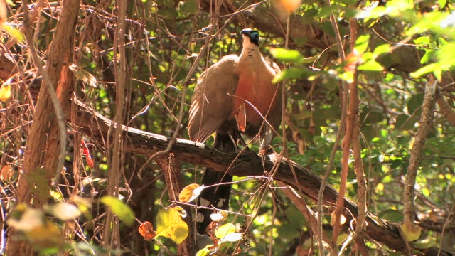 ms, giant coua (coua gigas) preening on tree, berenty private reserve, toliara province, madagascar - perching stock videos & royalty-free footage