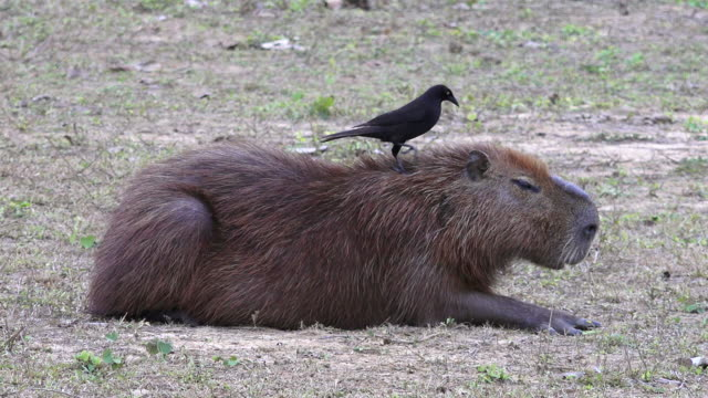 vídeos de stock, filmes e b-roll de giant cowbird on back of capybara, pantanal, brazil - dois animais