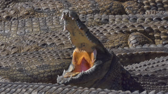 Giant crocodile in opens its mouth in a massive group of crocodiles basking in the midday sun in Africa