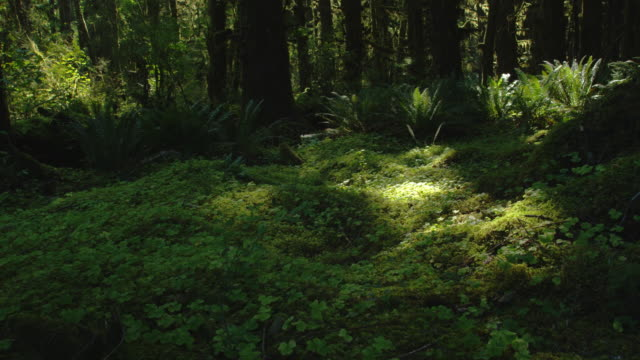 vídeos y material grabado en eventos de stock de giant ferns and one mushroom grow in a moist, green forest. - olympic national park