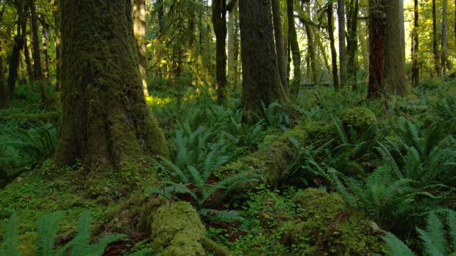 vídeos y material grabado en eventos de stock de giant ferns grow beneath trees covered with moss. - olympic national park