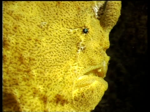 cu giant frogfish at night on reef, side view, mabul, borneo, malaysia - ugliness stock videos & royalty-free footage
