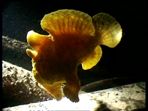 cu giant frogfish swimming over wreck at night, side view, mabul, borneo, malaysia - ugliness stock videos & royalty-free footage